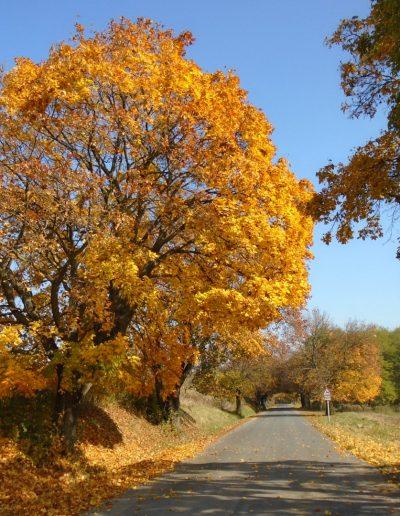 Juharfasor ősszel